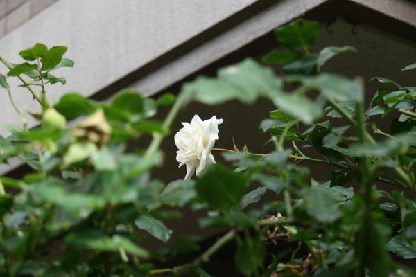 新雪の2番花