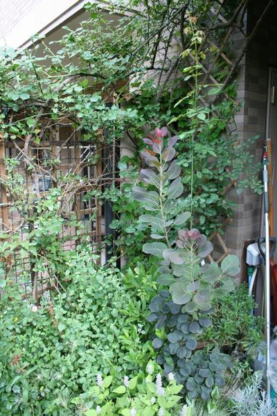 コーネリアとスモークツリー