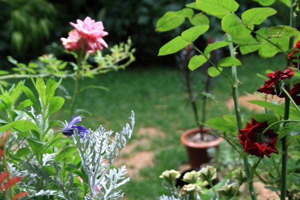 テラス前のバラとクレマチス