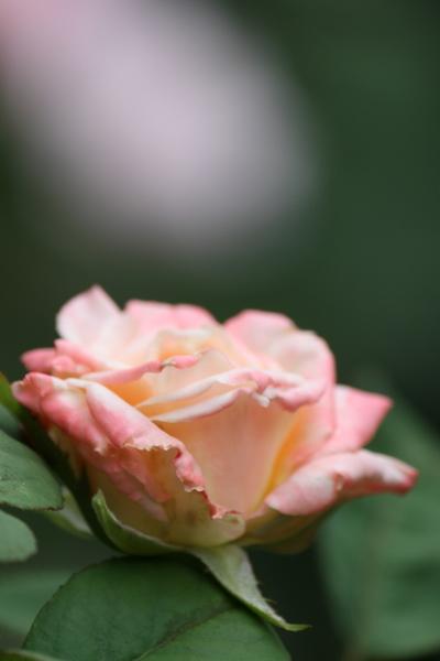 品種名不詳の切花品種3