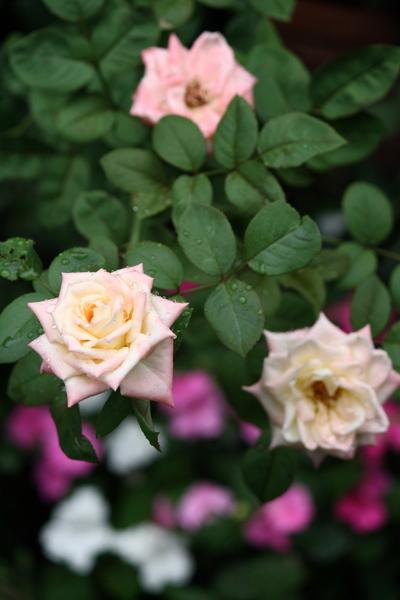 名無しのバラ 2