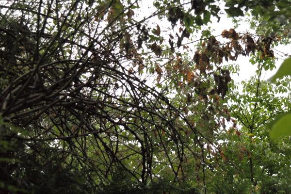 ノイバラの枯れ枝