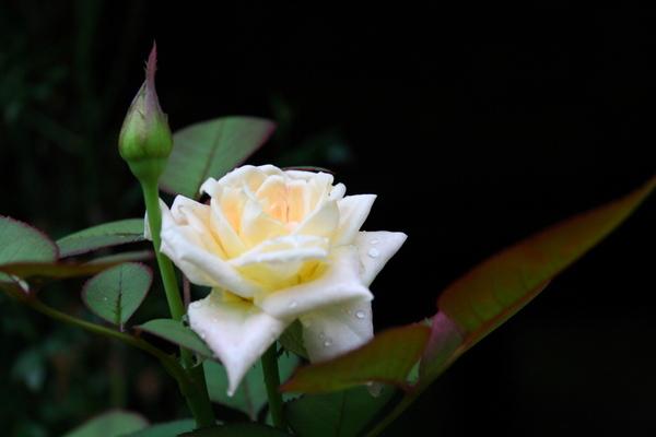 品種不明のバラ