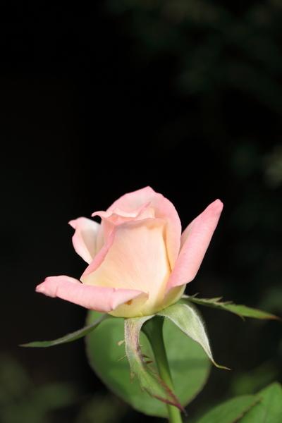 覆輪の切花品種
