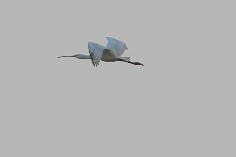 DSC_2752-191108西の洲干拓ヘラサギ-AB