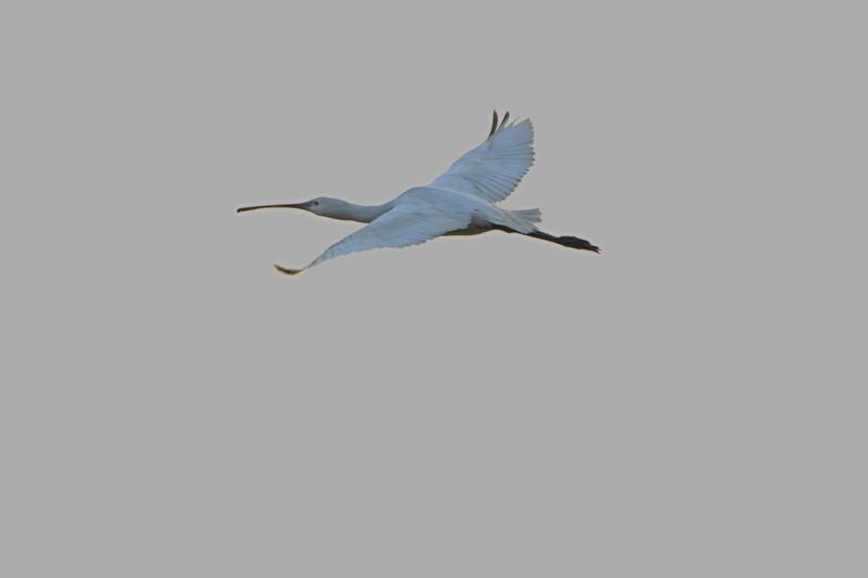 DSC_2753-191108西の洲干拓ヘラサギ飛翔-AB