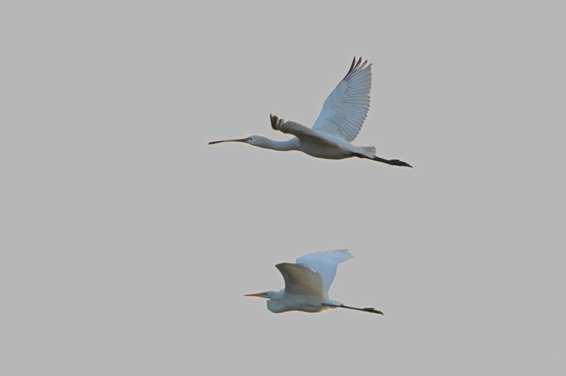 DSC_2755-191108西の洲干拓ヘラサギ飛翔AB
