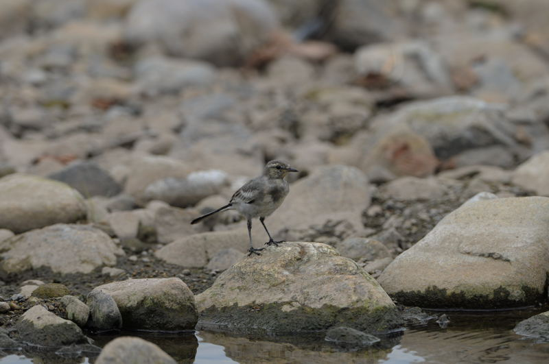 DSC_6696-210720霞川ハクセキレイ幼鳥-B