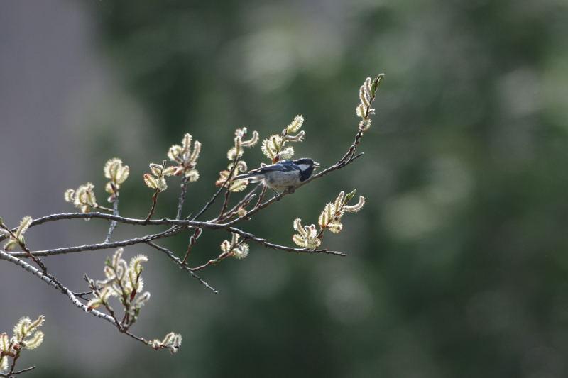 DSC_3500-200517信大自然園ヒガラ-B