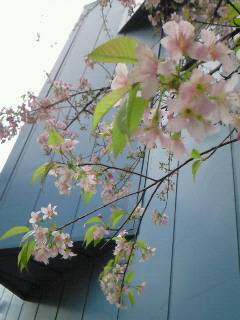 200912091551001ヒマラヤ桜