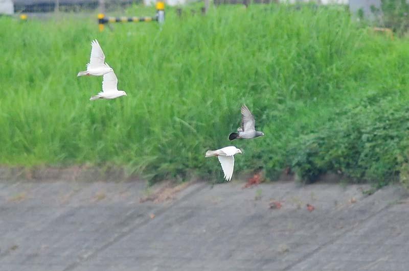 白いハト1