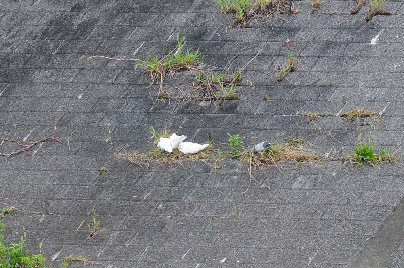 白いハト3