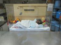 オラウータンの赤ちゃん
