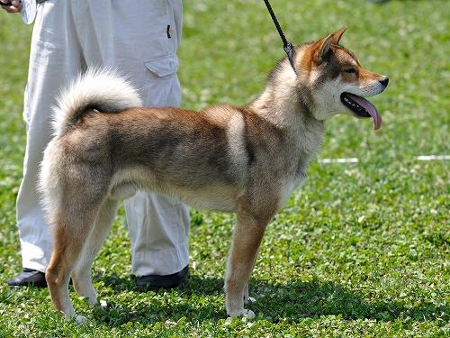 四国犬さん