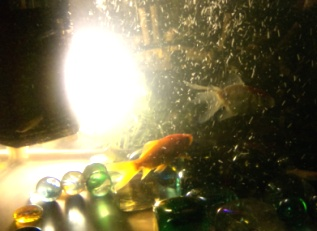 716goldfish7.jpg