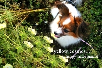 091018yellowcosmos.jpg