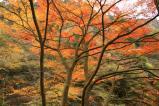 癒される丹沢の紅葉