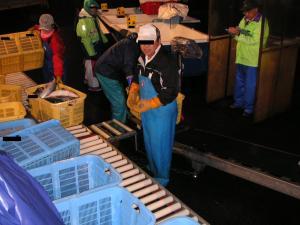 秋鮭漁 19