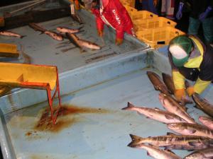 秋鮭漁 17
