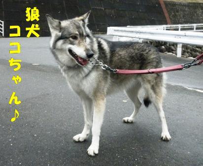 狼犬のココちゃん