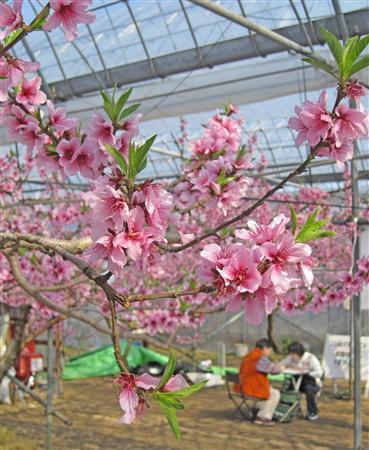 「日本一早い」ハウスで桃の花見 山梨