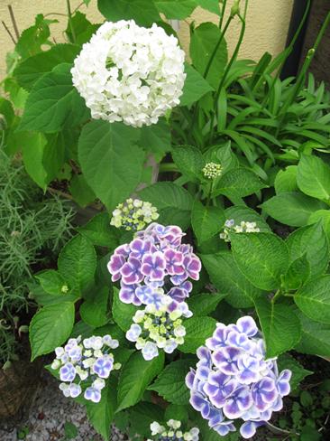 紫陽花のアナベル