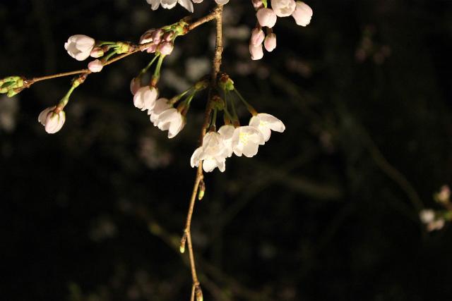 平野神社(京都)8
