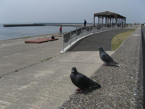 サイクリングロードのスタート地点、稲毛海浜公園のハト。