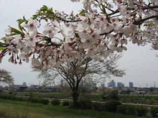 桜の花。背景は幕張新都心の高層ビル。