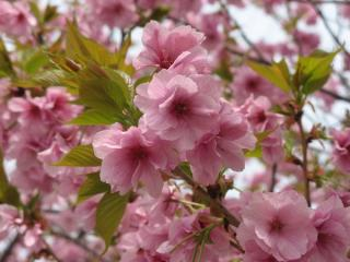 八重桜も満開だった。