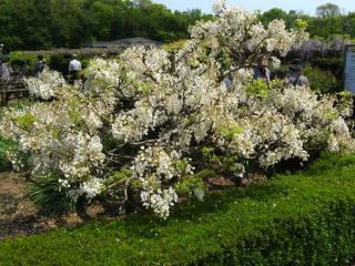 珍しい白い藤