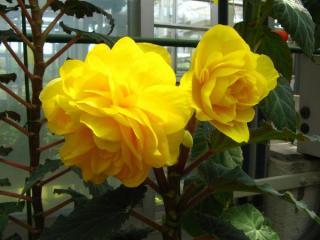 黄色いベコニア
