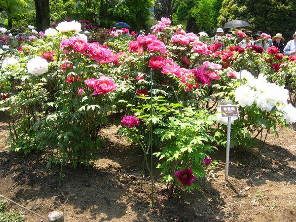 大温室脇のボタンの花各種。