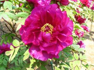 紫色(島大臣)