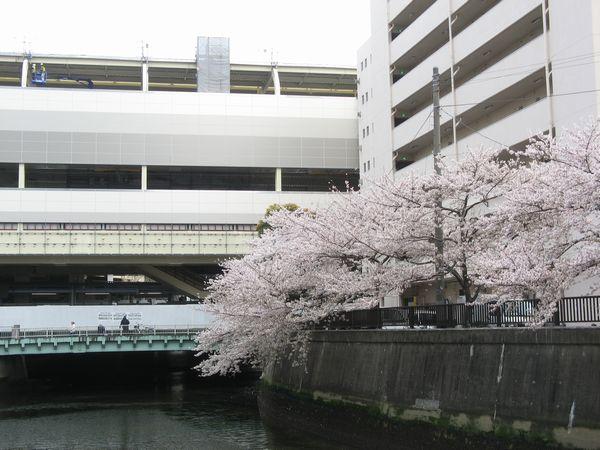 吞川沿いの桜の花と新しい京急蒲田駅