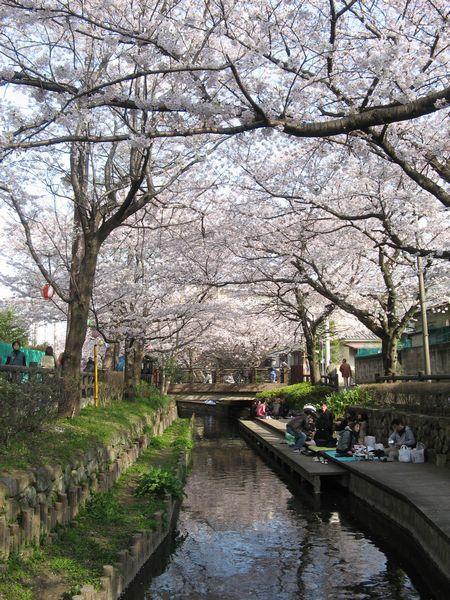 宿河原駅近くの二ヶ領用水。桜が川の上を覆い尽くしている。