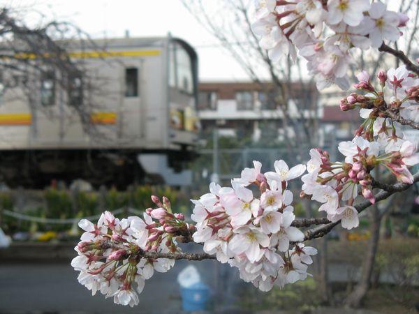 「こんな写真も撮れます。」桜の脇を南武線205系電車が通過