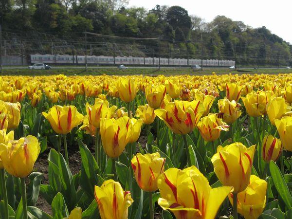 黄色いチューリップの花(品種名:ワシントン)