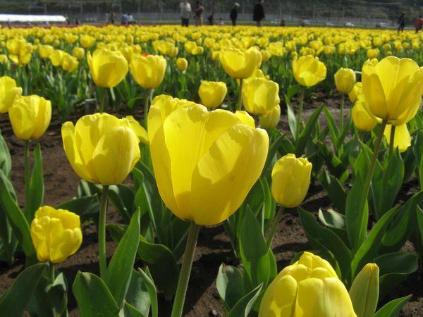 黄色(品種名:ラカールティン)