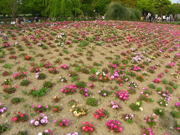 丘に敷き詰められたように咲くデージーの花