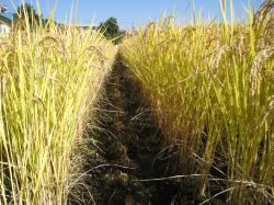 稲のけもの道