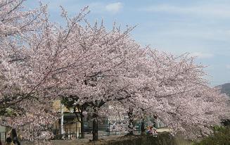 桜(交野~郡津)