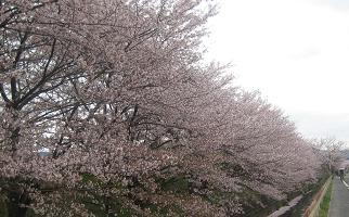 桜(郡津~村野)