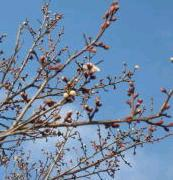 梅の花110226