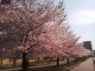 桜11042