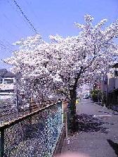 桜11041