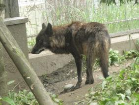 黒オオカミ