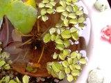 睡蓮の新芽