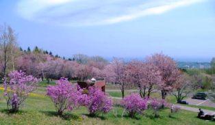 天都山の桜