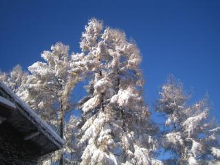 雪をかぶったカラマツ